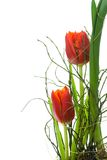 Two red tulips. Royalty Free Stock Image