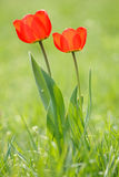 Two Red Tulips Stock Photography