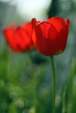 Two red tulips. In the garden (shallow DOF stock images