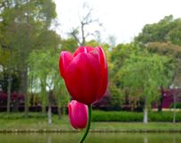Two red tulips blooming Stock Images