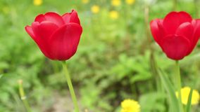 Two red tulips close to. Dolly shot stock video