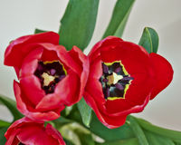 Two red tulips closeup Royalty Free Stock Photos