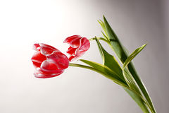 Two red tulips on gray background. Flauer Stock Image