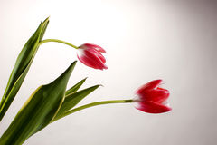 Two red tulips on gray background Royalty Free Stock Photography