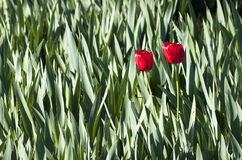 Two red tulips - RAW format Royalty Free Stock Images