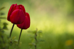 Two red tulips on green background. Two red tulips and green background for copy space Royalty Free Stock Image