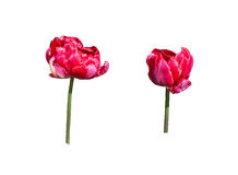 Two red tulips Royalty Free Stock Photos