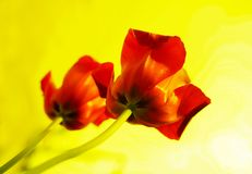 Two red tulips on isolated yellow background Stock Photo