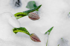 Two red tulips are under snow Stock Image