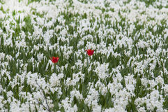 Two red tulips in white field of Hyacints Royalty Free Stock Images