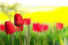 Two red tulips Royalty Free Stock Image