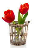 Two red tulips with yellow edges Royalty Free Stock Image