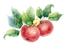 Two red watercolor apples royalty free illustration