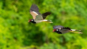 Two Red-Wattled Lapwing in flight with blur green tree  background stock photography