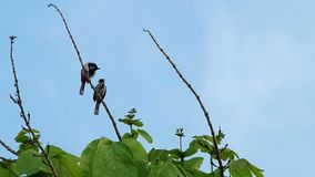 Two red-whiskered bulbul are relaxing stock video