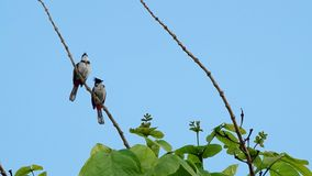 Two red-whiskered bulbul on tree. Two red-whiskered bulbul are stay together on the tree shoot stock video