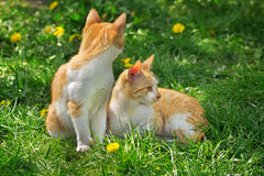 Two red and white kittens Stock Photo