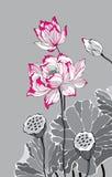 Two red white lotus on grey background Royalty Free Stock Photos