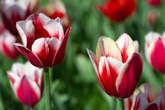 Two red and white tulips on sunny spring day, selective focus stock image