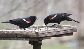 Two Red-winged Blackbirds Royalty Free Stock Images