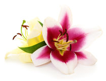 Two red and yellow lilies. Royalty Free Stock Photos