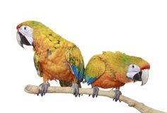 Two red and yellow Macaw Parrots Royalty Free Stock Photo
