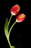 Two red and yellow tulips against black Royalty Free Stock Photography