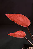 Two red zen leaves in team Royalty Free Stock Photos