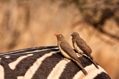 Two redbilled oxpeckers Stock Images