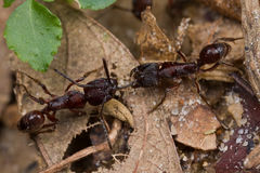 Two reddish ants having tug of war Royalty Free Stock Photography
