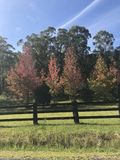 Two Reddish Autumn Trees behind a fence royalty free stock image