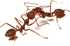 Two red ants communicating. Two reds ants against a white backdrop, communicating and working together Stock Image