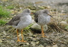 Redshank Royalty Free Stock Photos