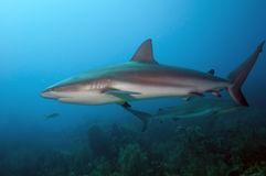 Two Reef sharks stock photo