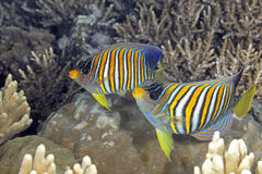 Two Regal Angelfish Royalty Free Stock Image