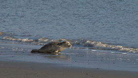 Two rehabilitated seals entering water and back into the wild. Video of two rehabilitated seals entering water and back into the wild stock video footage