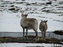 Two reindeer stock image