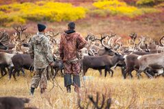 Two reindeer breeders on background of caribou herd  in autumn stock photos