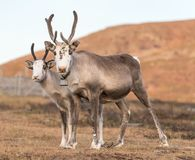 Two reindeers Royalty Free Stock Images