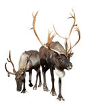 Two Reindeer. (Rangifer tarandus). Isolated over Royalty Free Stock Photos