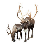 Two  Reindeer. (Rangifer tarandus). Isolated over white background Stock Image