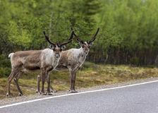 Two reindeer ready to cross the road in Lapland. Royalty Free Stock Image