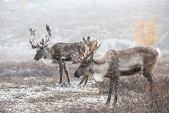 Two reindeer in a snow storm. Two reindeer in a heavy snow storm. Khuvsgol, Mongolia stock photo