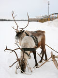 Two reindeers. Stand to harnesses in winter Royalty Free Stock Photos