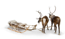 Two reindeers Stock Photo