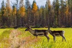 Two reindeers on a field and autumn forest as background. Finland Royalty Free Stock Image