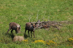 Two reindeers on a meadow in Sweden Royalty Free Stock Images