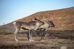 Two reindeers  - mother with child Royalty Free Stock Image