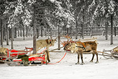 Two reindeers with sledges in winter arctic forest Stock Photo