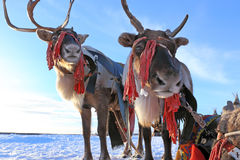 Two reindeers in a team Stock Photo